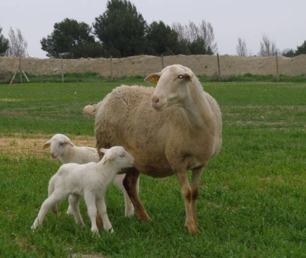 Oveja ROA con dos corderos