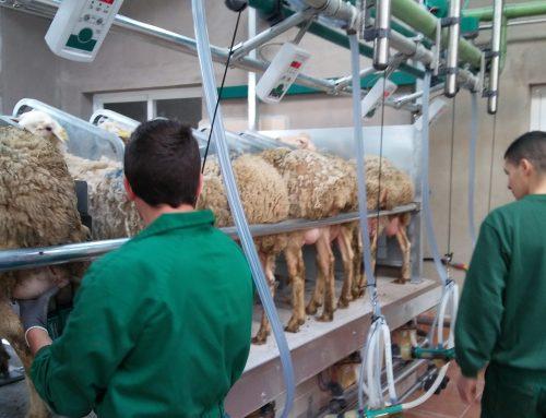 Nuevos proyectos: ovino de leche