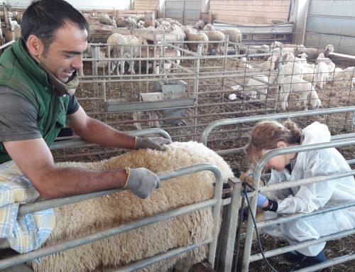 Actividades de transferencia: 7 ensayos (ya testados) de mejora en las explotaciones de ovino