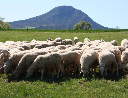 Lo importante y urgente para el sector ovino y caprino