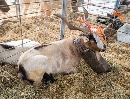 El XXIV Concurso aragonés de machos caprinos se celebrará el próximo 18 de septiembre