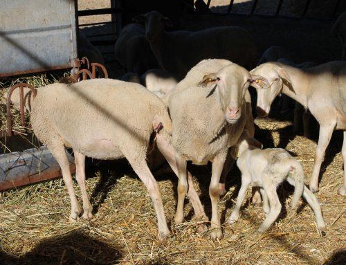 Estrategias para mejorar los resultados en ganaderías de ovino I: disminución de la edad al primer parto