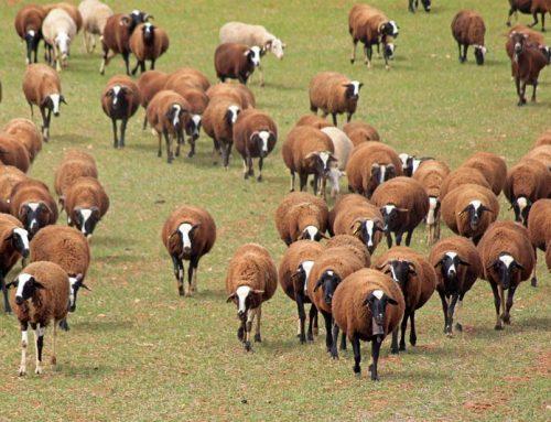 El proyecto TechCare busca mejorar la eficiencia de los rebaños de ovino a través de la tecnología